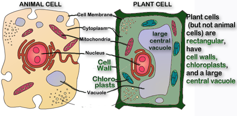 Write an essay on two double membrane bounded organelles in plant