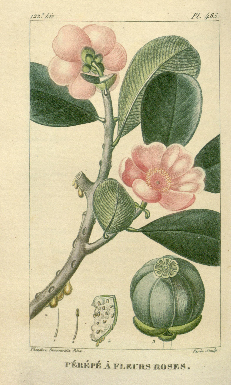 ct 7 flore m dicale des antilles ou trait des plantes usuelles paris pichard 1821 1829. Black Bedroom Furniture Sets. Home Design Ideas