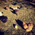 The chickens joined us on our Easter egg hunt!