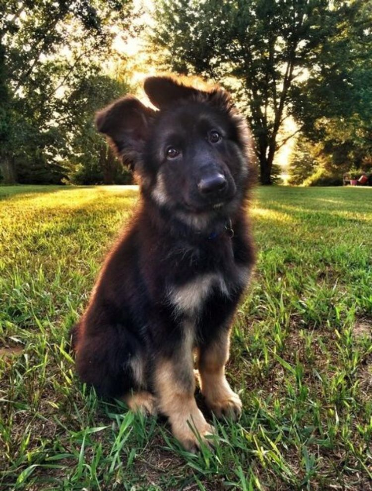 Love Shepherd Pup Ears When They First Try To Get Them To Stand Up