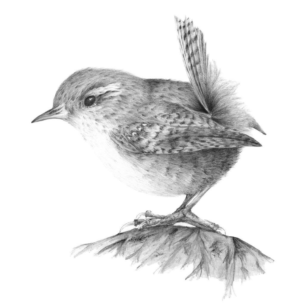 English Wren #pencil #drawing #birds | Bird sketch, Bird ...