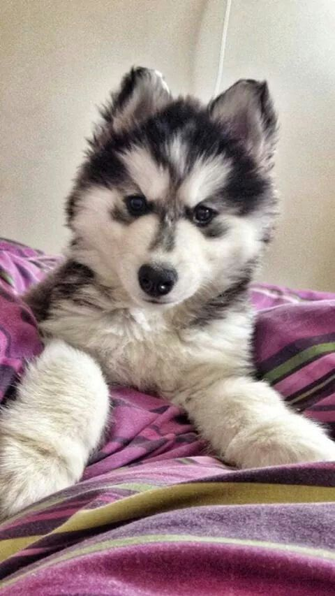 Pin by Nicole Goodremote on Huskies | Baby puppies