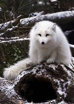 Artic Fox in the Snow | Animals in Cold Places | Animals