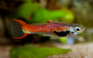 Hot Tamale Endler Cross Guppy Guppy Pro Guppies And Endlers