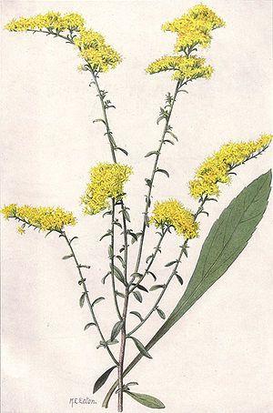 Pin By Mandi Barker On Art Goldenrod Flower List Of Flowers Goldenrod