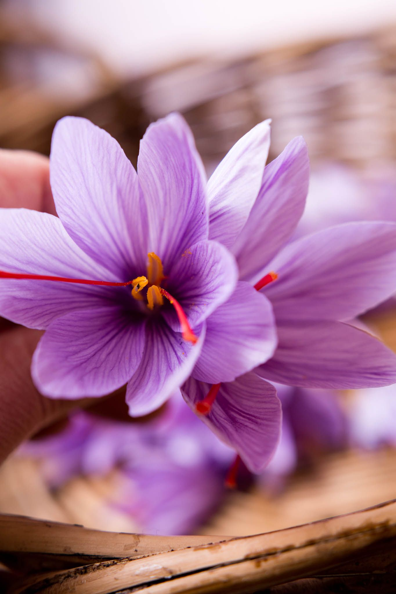 Freshly picked saffron (crocus sativus) flowers grown in ...