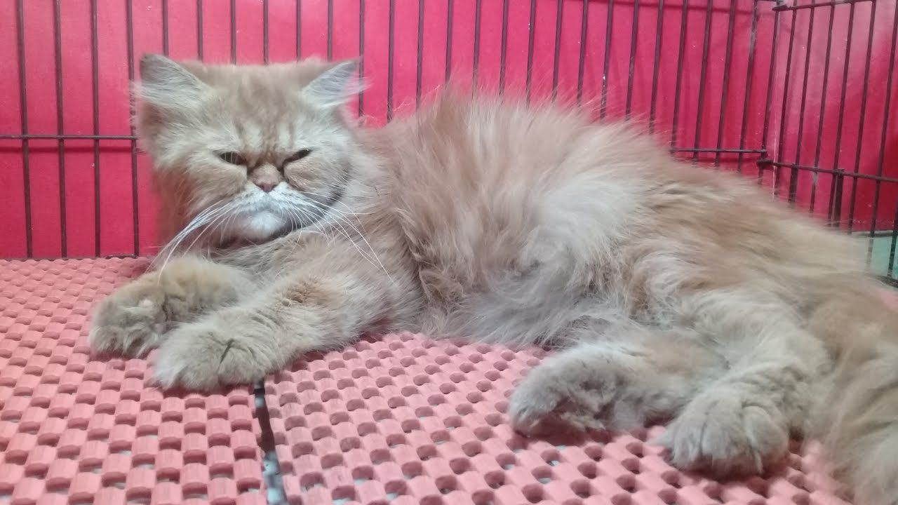 persain cats for sale in tollinton market lahore | tollinton pets and bi...