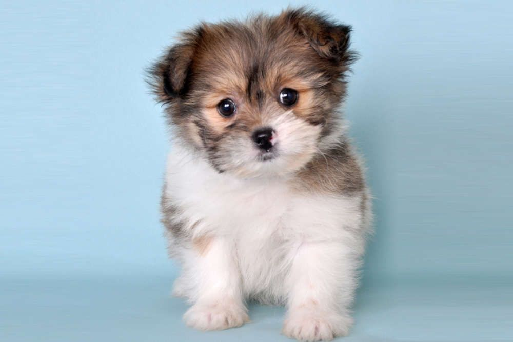 Whoops I Couldn T Find That Listing Sorry Hoobly Classifieds Cutest Dog Ever Cute Dogs Animals