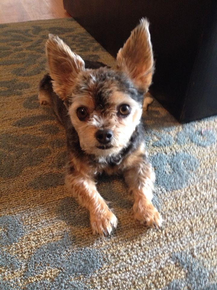 Chorkie With A Fresh Haircut Diddy Hybrid Dogs Yorkie Puppy Watercolor Dog