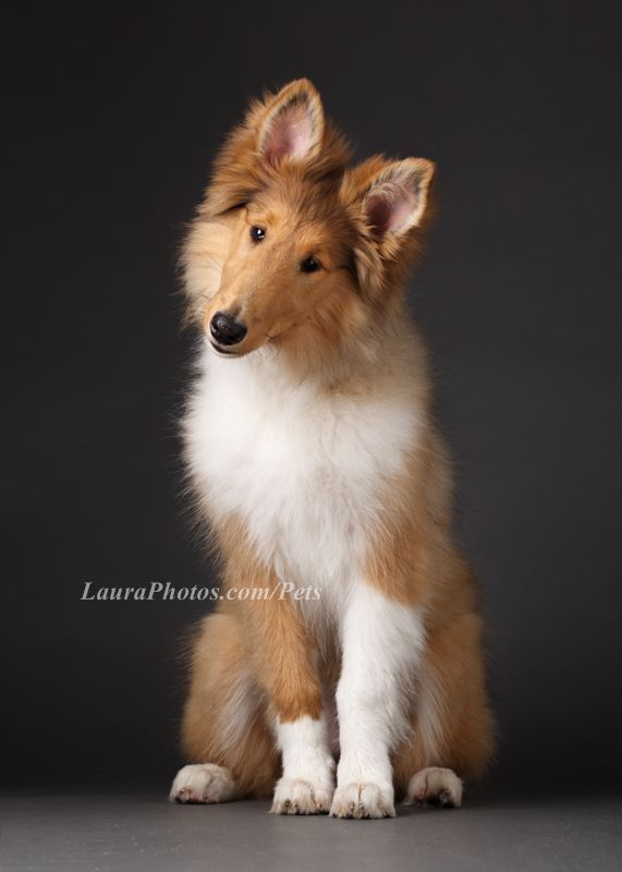 Chicago Pet Photography Cute Collie puppy Studio Pet Portraits wwwLauraPhotos  flats and other sweeties