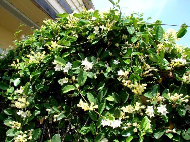 Haie de jasmin de madagascar 1 yves plantes pinterest for Stephanotis exterieur