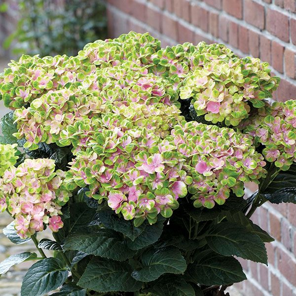 10 New Hydrangeas You Ll Want To Grow Now Hydrangea Varieties Hydrangea Colors Little Lime Hydrangea