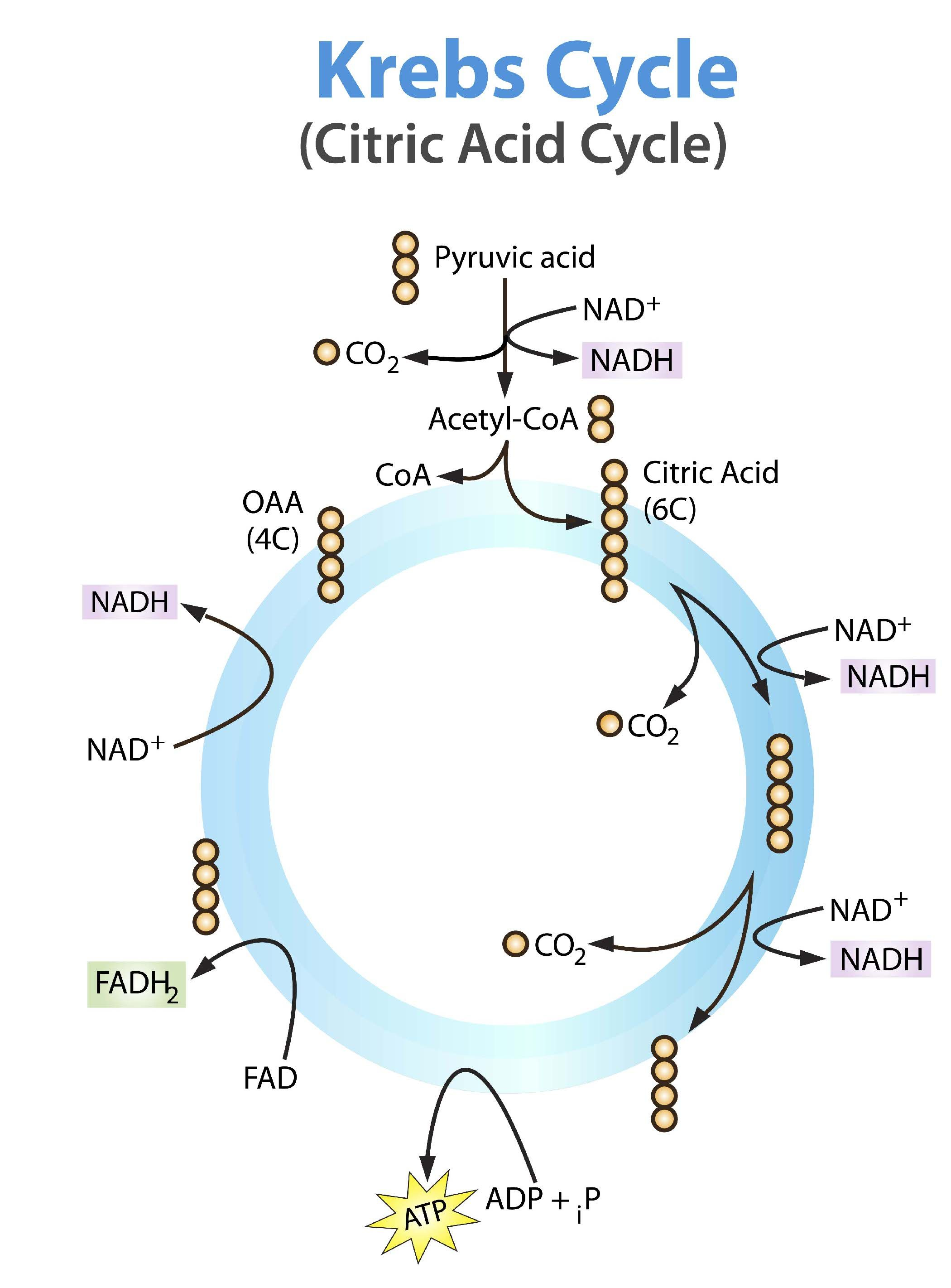 hight resolution of krebs cycle simple and easier to read