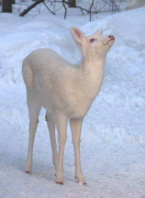 Albino Whitetail Deer Blue Eyes Saying I Surrender No More Snow Please Albino Animals Albino Deer Animals