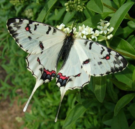 Dragon Swallowtail (Sericinus montela)