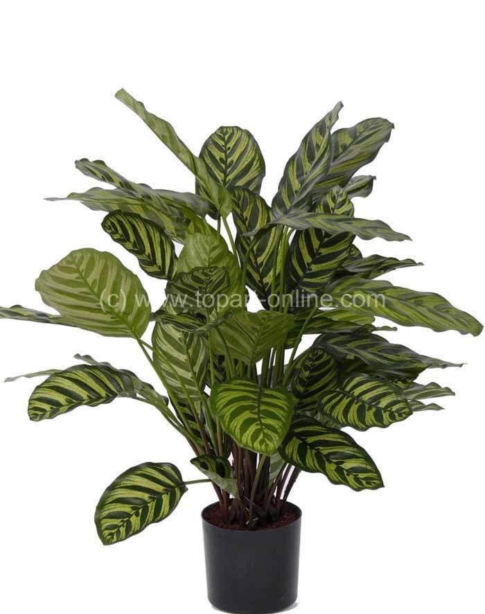 Calathea Makoyana Calathea Artificial Flowers And Plants Plants