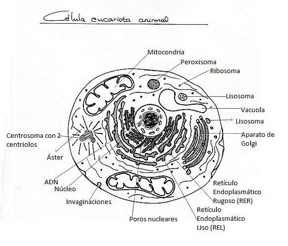 La Celula Animal Y Sus Partes Para Colorear Biology Education Chemistry