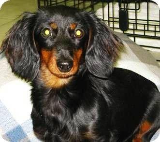 Oswego Il Dachshund Meet Delaney A Puppy For Adoption Doxie