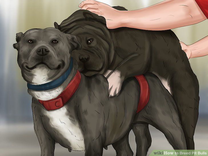 How To Breed Pit Bulls Bred Pit Pit Bulls Breeds