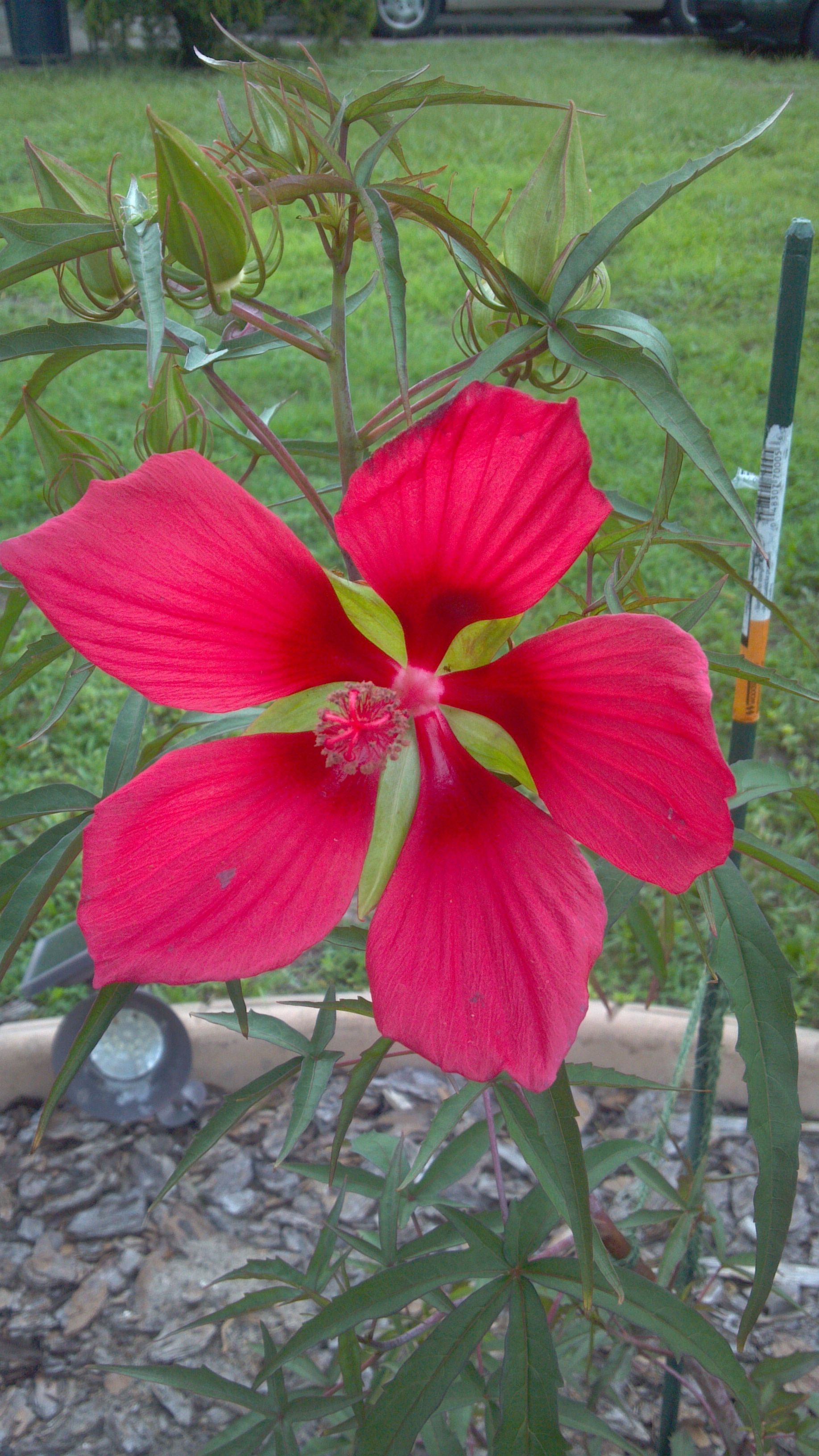 My New Pot Plant From Jims In Gibsonton Its A Swamp Hibiscus