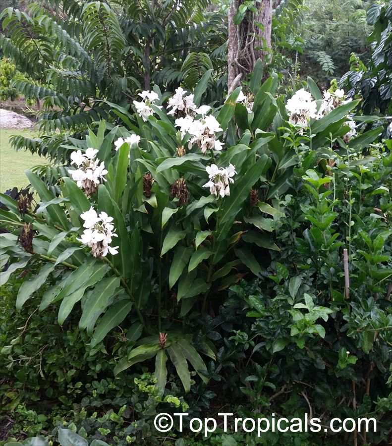 Hedychium Coronarium White Ginger Butterfly Ginger Lily Shade Plants Lily Plants Planting Flowers