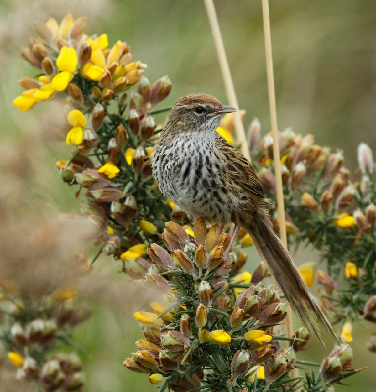 Fernbird New Zealand Birds Online Birds online, Birds