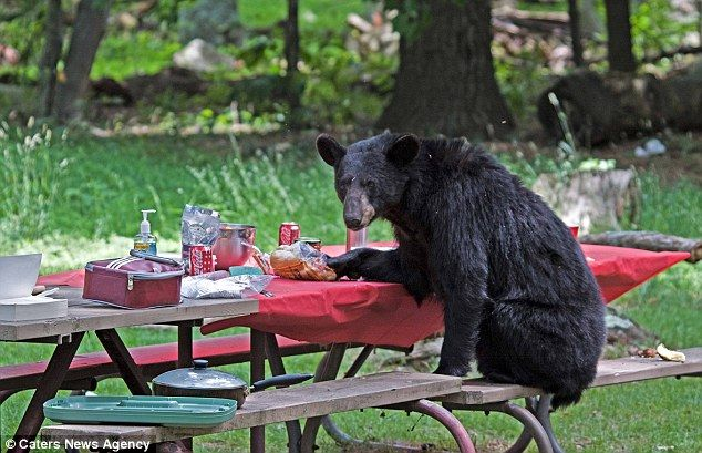 Hungry Black Bear Gatecrashes Family Lunch... And Tucks Into Their  Sandwiches Read More