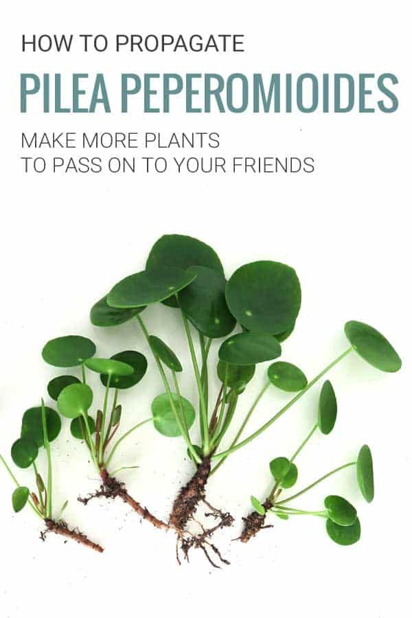 How to Propagate your Pilea Peperomioides Plant