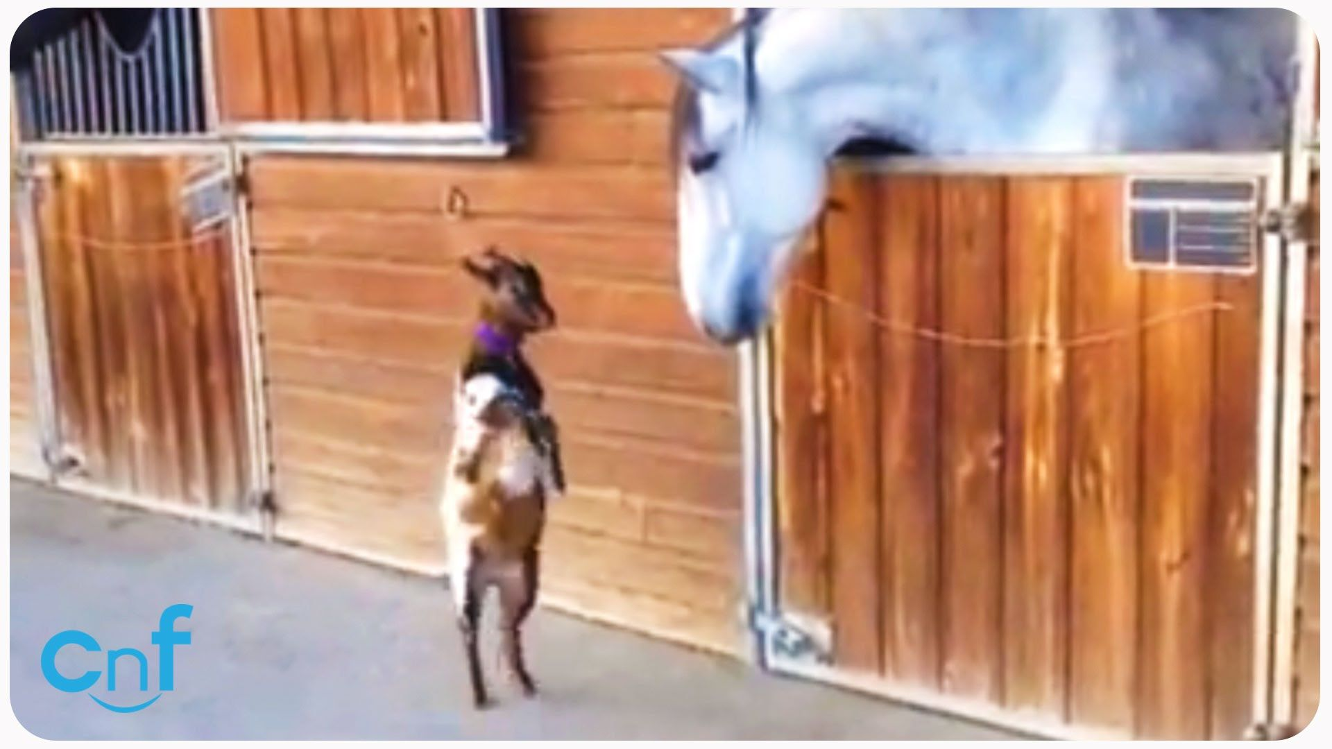 Baby Goat Meets Horse   Animal Best Friends