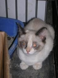 Sugar Bear Is An Adoptable Siamese Cat In Jackson Tn Sugar Bear Is A Gorgous Kittin With Blue Eyes She Is Ready For Her Cat Rescue Sugar Bears Siamese Cats