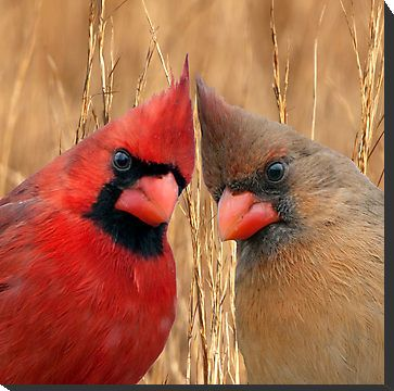 Male And Female Cardinals Kissing Two Heads Are Better Than One