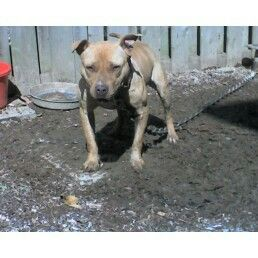 Pin On Pit Bull Dog S