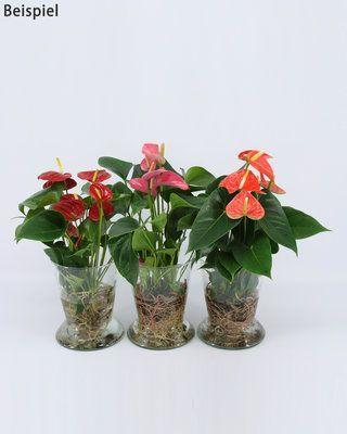 Pflanze Anthurie Hydroponic online kaufen Pflanze Anthurie Hydroponic online kaufen Source by swjosdo4ka...