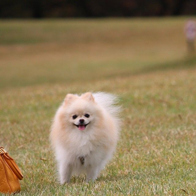 Pomeranian By Andypuku On Instagram Tiere