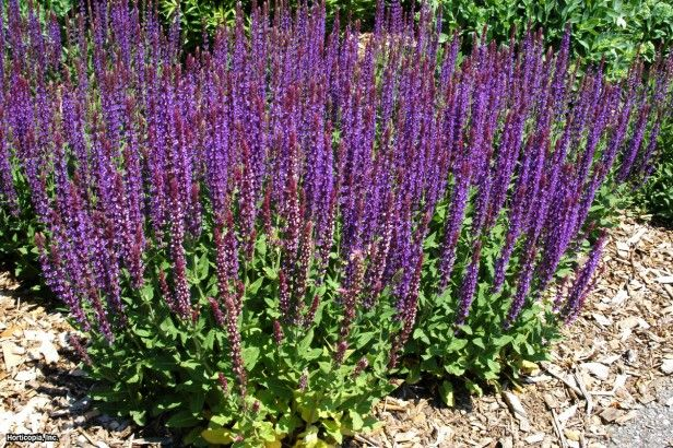 meadow sage drought tolerant plants pinterest salvia drought tolerant plants and backyard. Black Bedroom Furniture Sets. Home Design Ideas