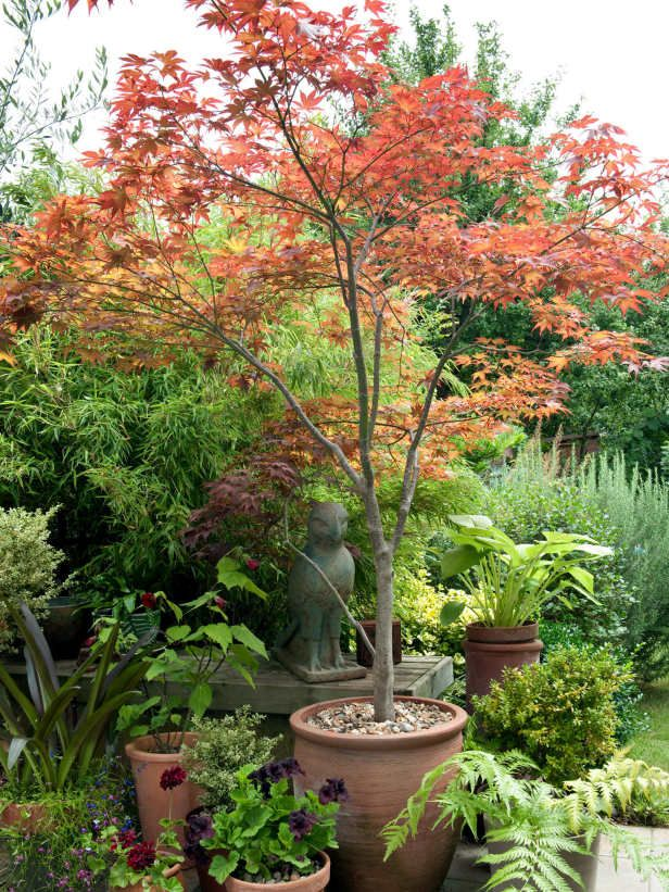 Red maple tree 1 entry container bedstuy garden for Small trees for japanese garden