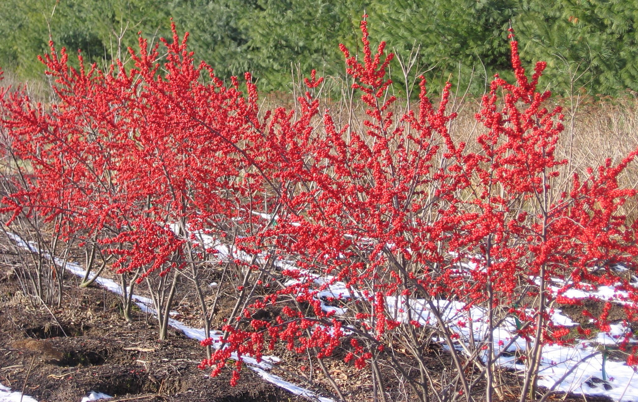 Natural Landscapes Nursery Hollies Landscape Nursery Winter Plants Winterberry Holly