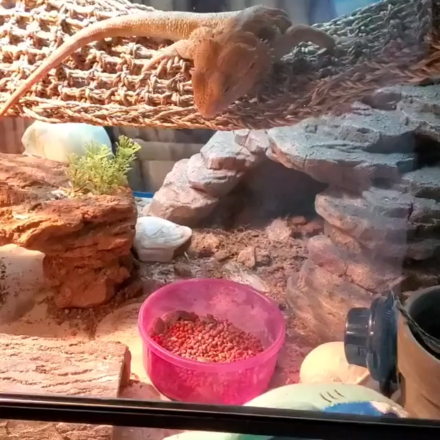 How Many Dubia Roaches to Feed To A Bearded Dragon (Bearded Dragon Care Guide) #thepetsupplyguy #pet #pets #animal #reptile #reptiles #BeardedDragon #beardie Video Credit: Beardedd Dragon Eating Dubia Roaches @katiepotis on IG