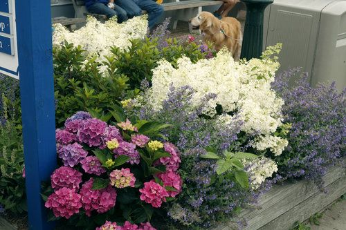 Bobo Hydrangea In 2020 Bobo Hydrangea Panicle Hydrangea White Flower Farm