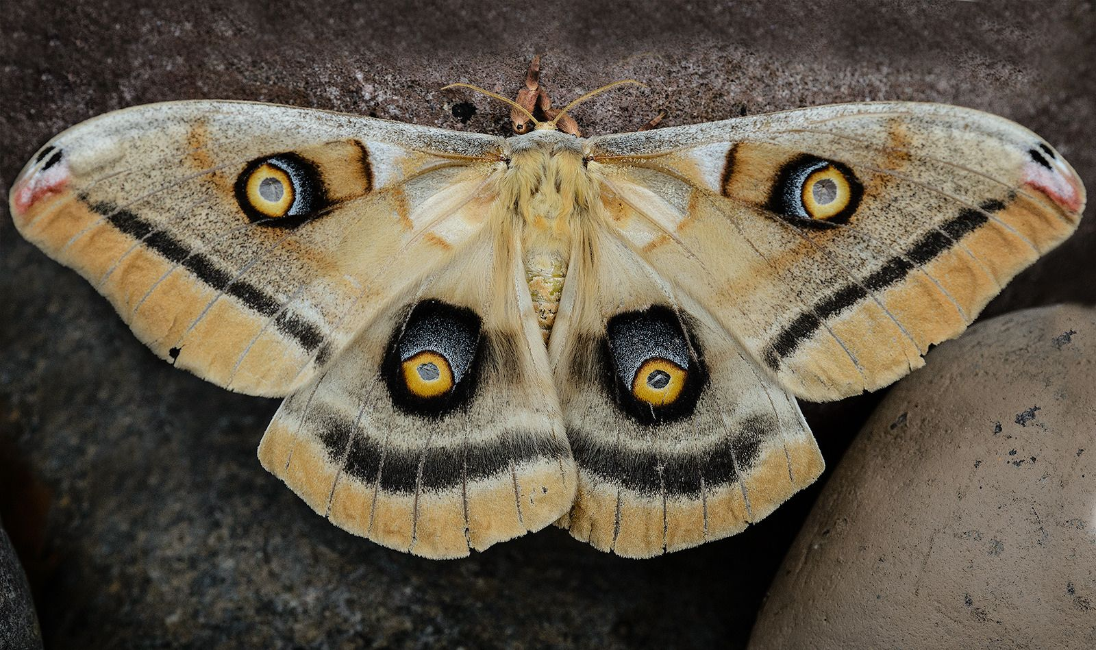 Moth top view Moth, Butterfly, Insects