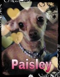 Paisley & Pepper is an adoptable Chihuahua Dog in St. Clair Shores, MI. Paisley (tan) & Pepper (chocolate) are a Mother/Daughter pair. Both girls are sweet & adjust quickly to strangers given a few m...