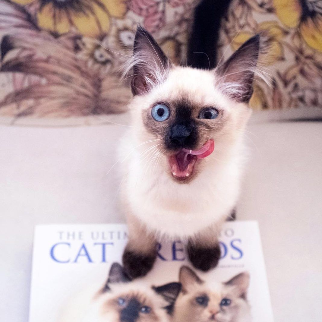 The Warm Balinese Cat Breed Balinese Cat Origins The Balinese Is A Long Haired Domestic Cat Breed W Balinese Cat Siamese Cats Facts Domestic Cat Breeds
