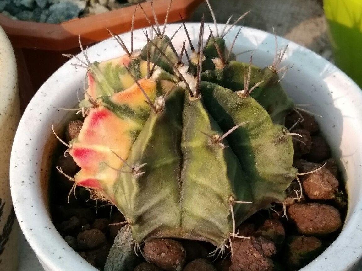Gymnocalycium mihanovichii subsp.Friedrichii variegated cactus Succulent plants