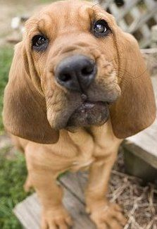 Bloodhound Puppies Are The Cutest Hopefully One Day One Will Be