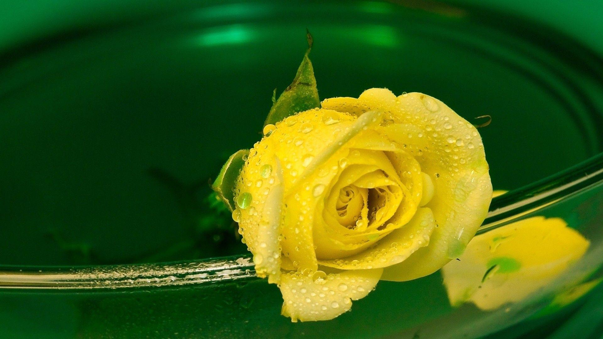 Green and Yellow Desktop Wallpaper Flowers, Yellow roses
