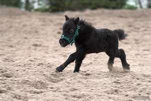 Wie Groß Ist Das Kleinste Pferd Der Welt