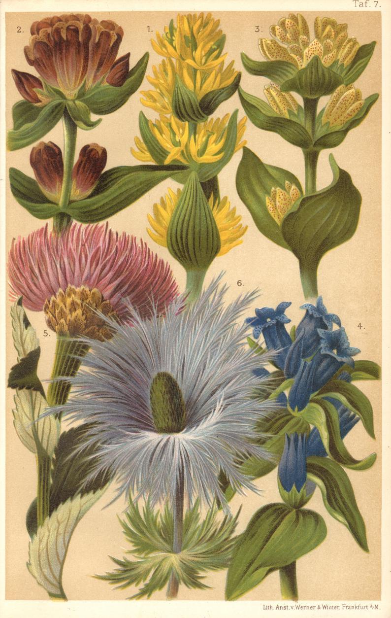 1903 TALL ALPINE HERBS Antique Lithograph Botany Botanical