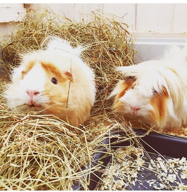 Pin by EllieeCoomes on Autumn Guniea pig, Zoella, Instagram