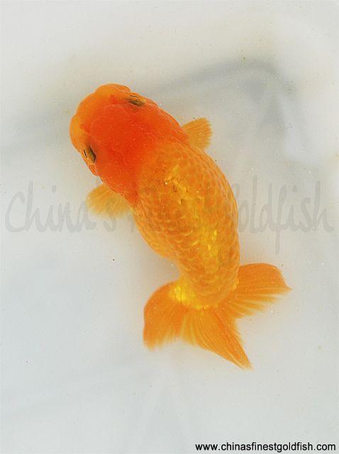 9 Ryukin Goldfish Goldfish Fish