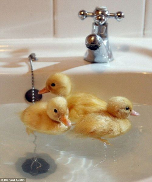 Most people keep their ducks in the bath... but this lot aren\'t made ...